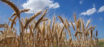 Campo trigo - Genoma del trigo