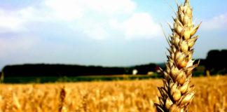 Campo de trigo. Sostenibilidad en panaderia y pastelería